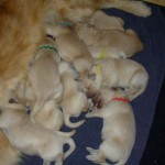 Moya's Puppies Born 5
